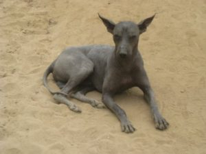 Picture of Ecuadorian Hairless Dog
