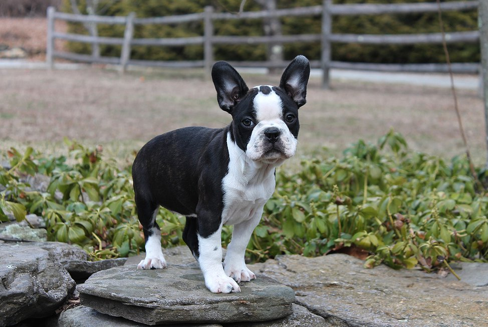 french terrier puppy - 28 images - french bulldog boston terrier