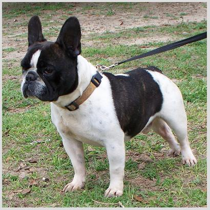 Frenchton (French Bulldog Boston Terrier Mix) Info ...