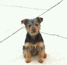Mini pinscher mixed with yorkie
