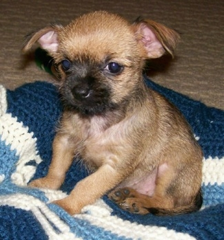 Small Dog With Long Ears