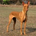 Pharaoh Hound ( Egyptian Pharaoh Hound)