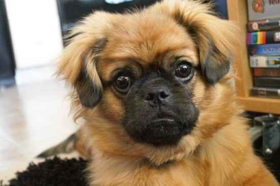 Pomeranian Mixed Puppies Pug Pomeranian Mix Puppies Pictures to pin on ...