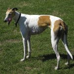Rampur Greyhound