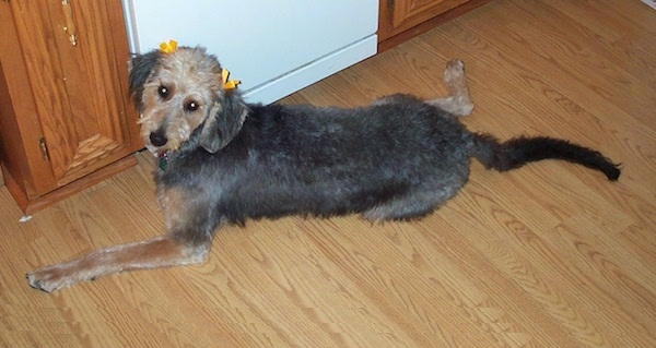 Airedoodle Airedale X Terrier Poodle Mix Info