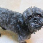Bossi-Poo (Boston Terrier-Poodle Mix) Info, Temperament ...
