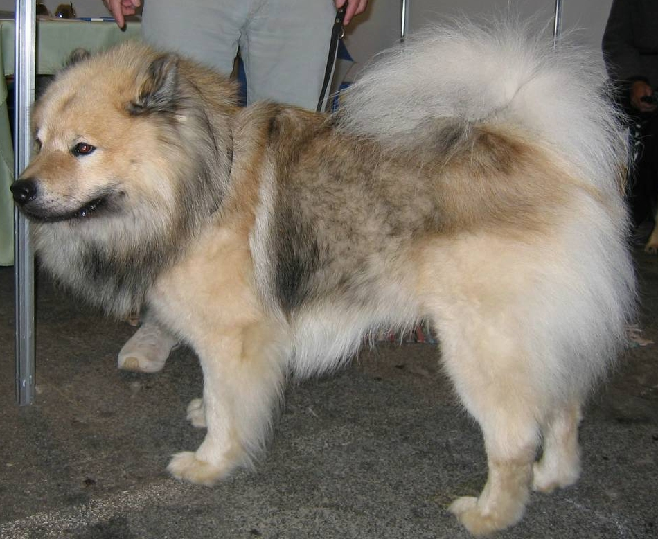 Eurasier Dog (Chow Chow Samoyed Keeshond Mix) Info, Temperament ...