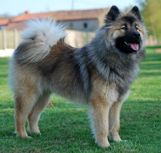 Eurasier Dog (Chow Chow-Samoyed- Keeshond Mix) Info ...