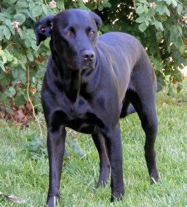 Labrador retriever great dane mix info – Dogs in our life ...