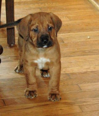 Mountain Mastiff (Bernese Mountain Dog-Mastiff Mix) Info ... Irish Mastiff Puppies