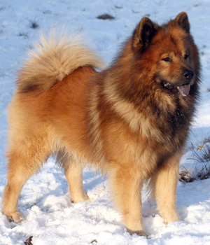 Eurasier Dog Chow Chow Samoyed Keeshond Mix Info