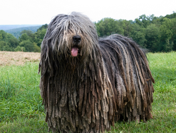 Bergamasco Sheepdog (Bergamasco Shepherd Dog) Info ...