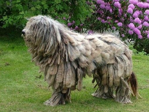 Bergamasco Shepherd Dog Breeds