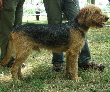 Bosnian Coarse Haired Hound Info Temperament Training