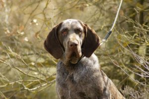 Images of Burgalese Pointer