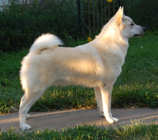 Norwegian Buhund (Norwegian Shepherd Dog) Info, Puppies ...