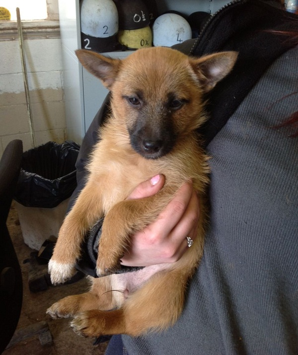 Jack Russell Pomeranian Mix Izzy The Jack Russell Terrier X Needs A