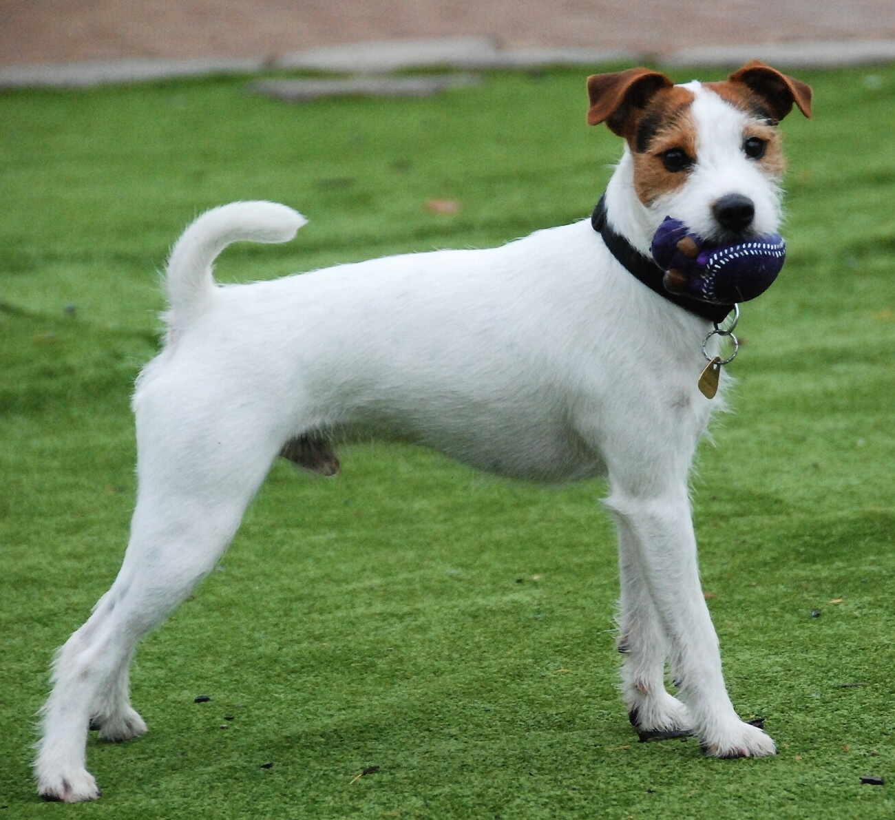 Parson Russell Terrier Breed Guide - Learn about the Parson ...