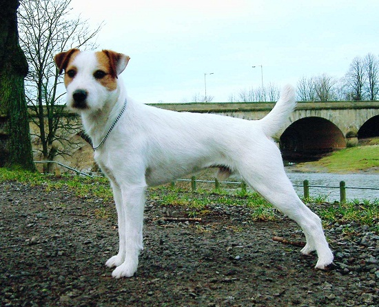 Parson Russell Terrier Info, Temperament, Puppies, Pictures | 550 x 445 jpeg 131kB