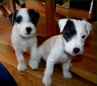 Parson Russell Terrier Info Temperament Puppies Pictures