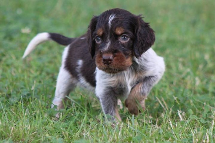 picardy spaniel info temperament puppies pictures