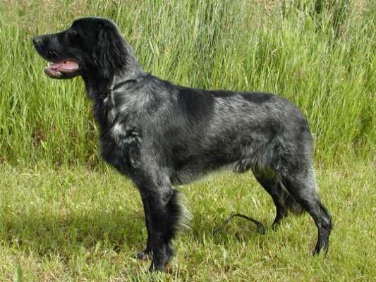 Gun Dog With Long Droopy Ears