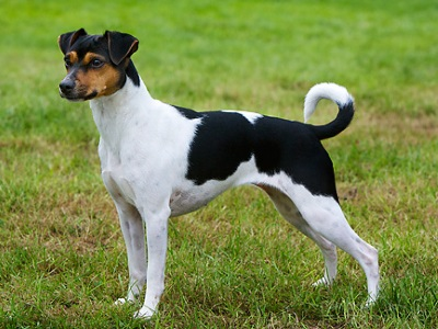 Brazilian Terrier Info Puppies Personality And Pictures