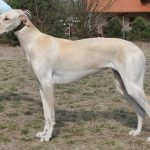 Polish Greyhound