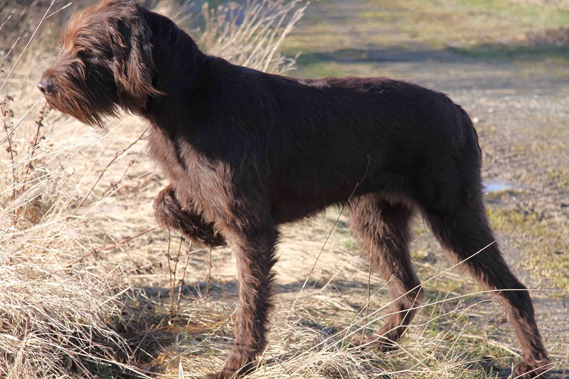 Hunting With Pointer Dogs Videos
