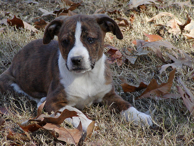 Treeing Cur Dog Info Temperament Puppies Training Pictures
