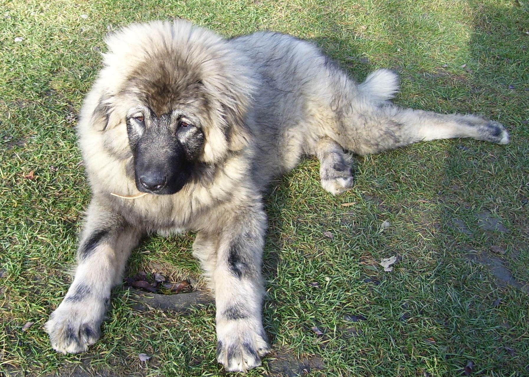 sarplaninac info temperament puppies pictures
