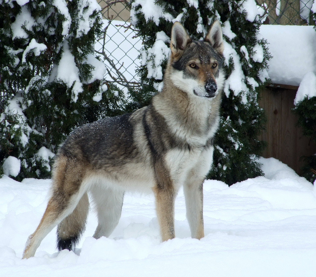 Large Dog Breed That Looks Like A Wolf