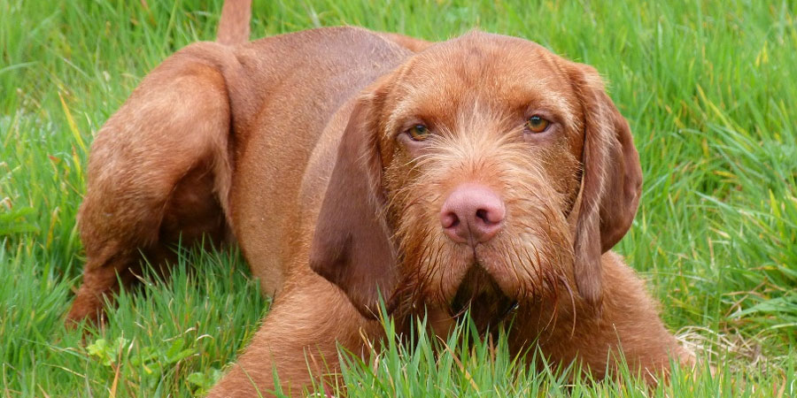 Breeds Of Dogs Hungarian Vizsla