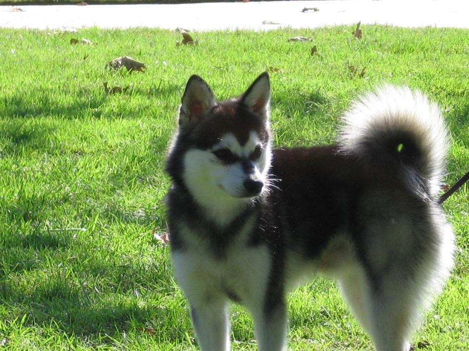 Alaskan Dog Breeds White