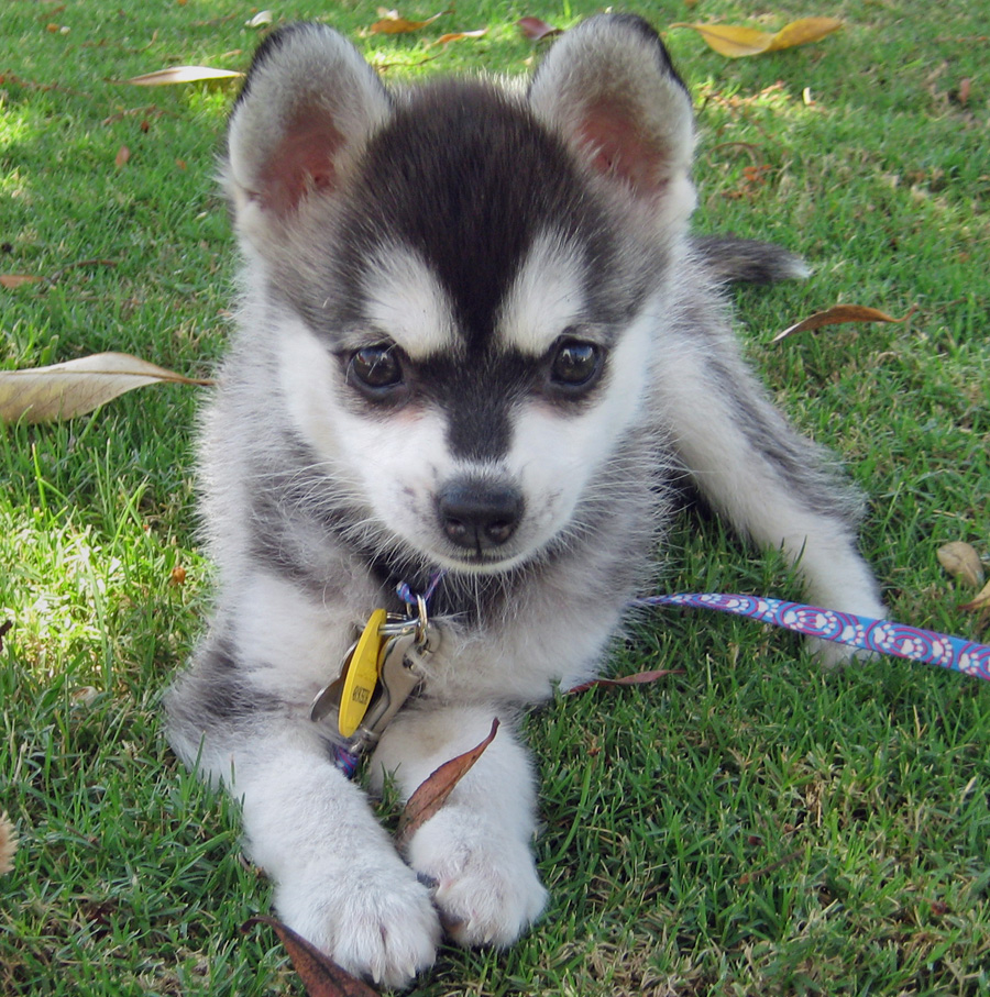 Alaskan Klee Kai Info, Temperament, Puppies, Care, Pictures
