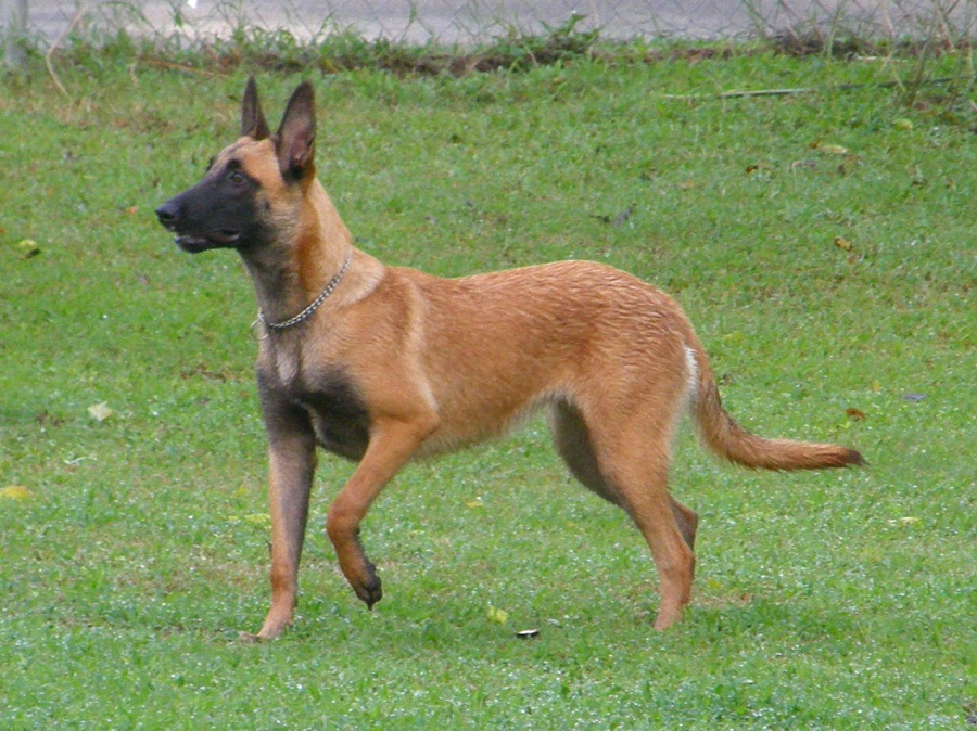 Belgian Malinois Dog Rescue