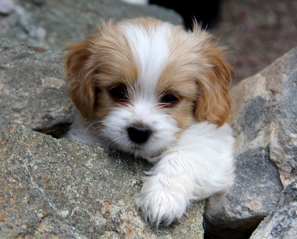 Small Toy Puppies : Cavachon bichon king charles mix info temperament