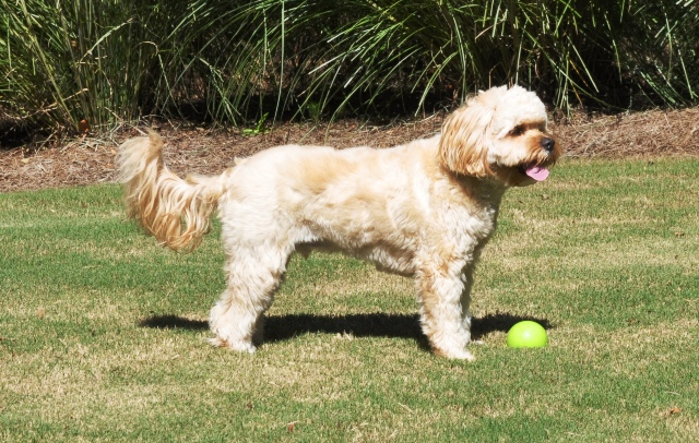 Goldendoodle A Golden Retriever Poodle Mix moreover Newfypoo further Watch further Caniche Micro Toy in addition Pudel In Not. on apricot mini poodle