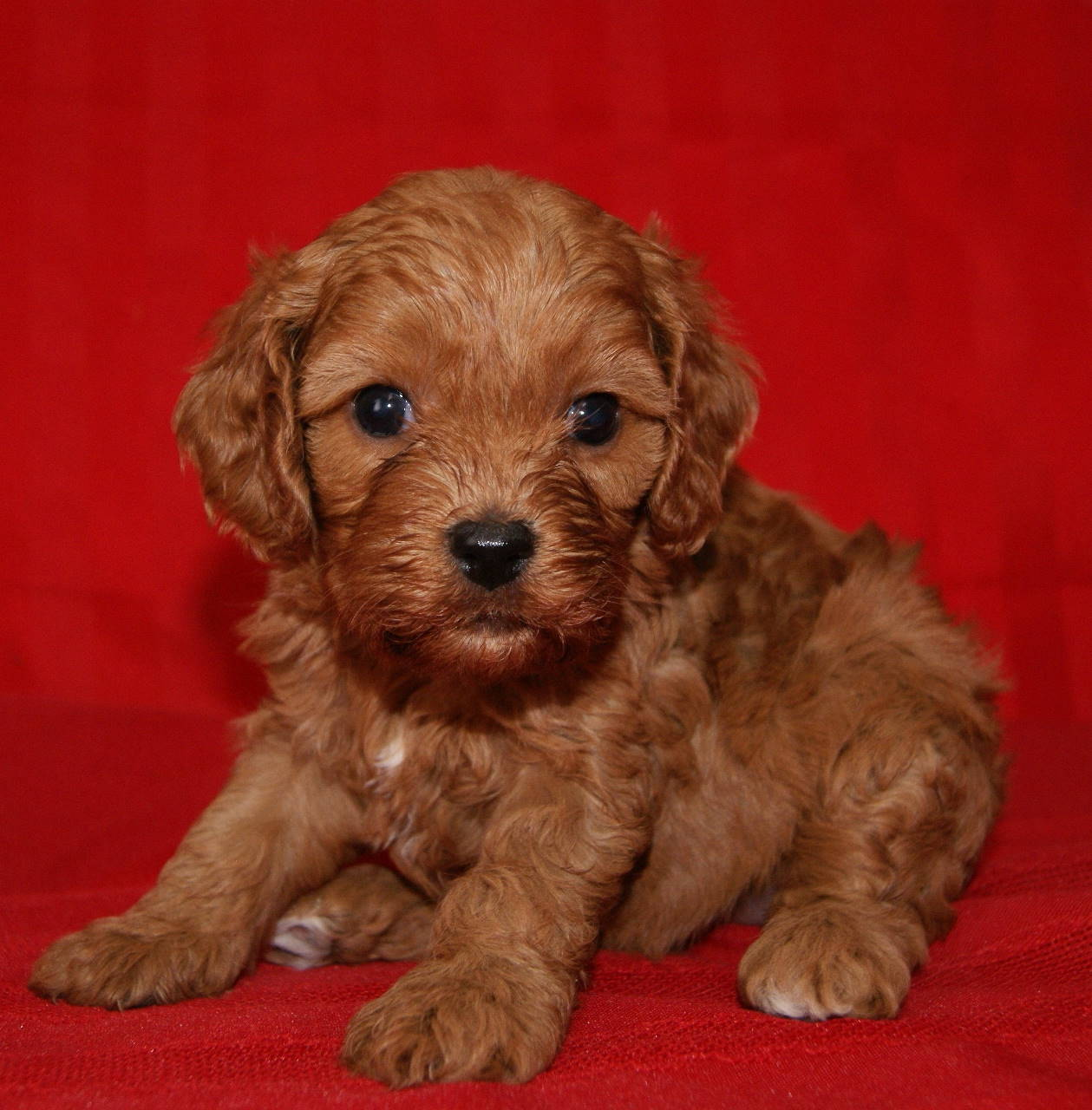Pictures of Teacup Cavapoo - #rock-cafe