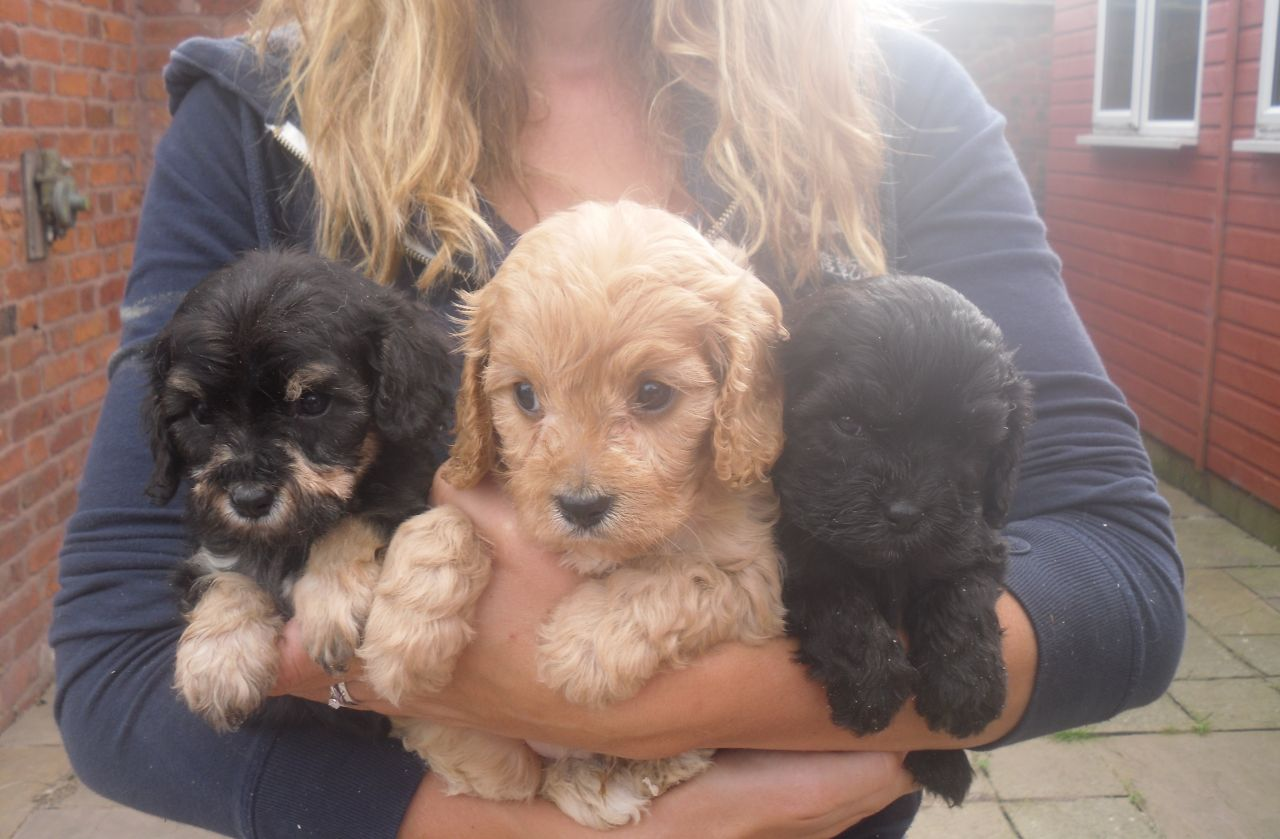 Adult Cavapoo Dogs For Sale