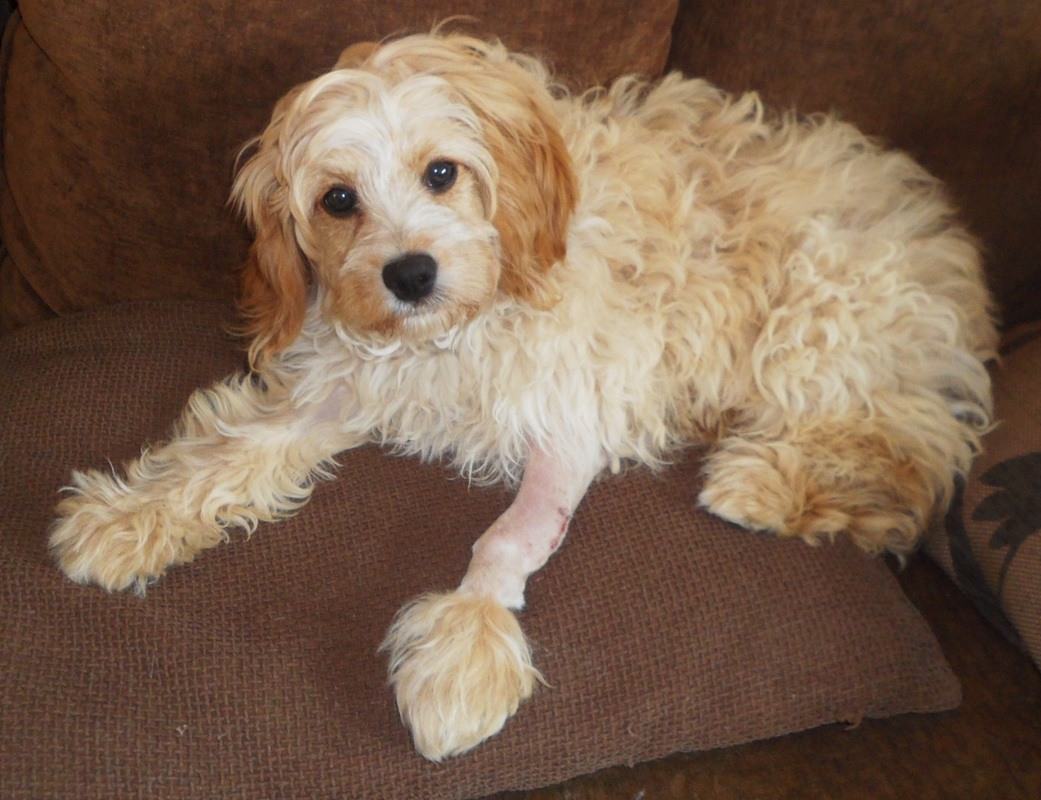 Cavapoo Cavalier King Charles Spaniel Mix Info