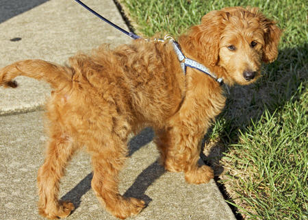 Miniature Goldendoodle (Golden Retriever-Poodle mix) Info ...