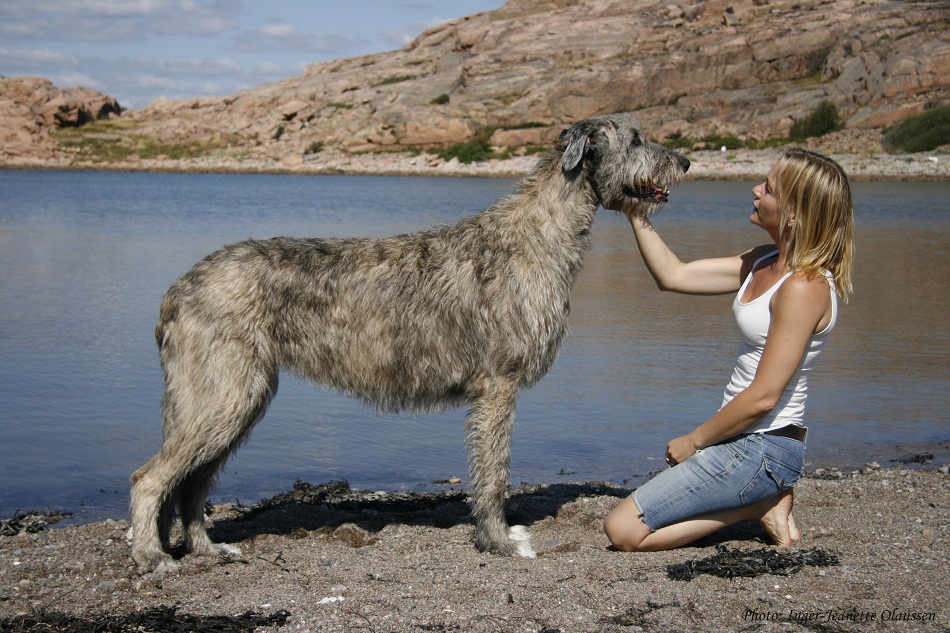 Dogs Like Wolfhounds
