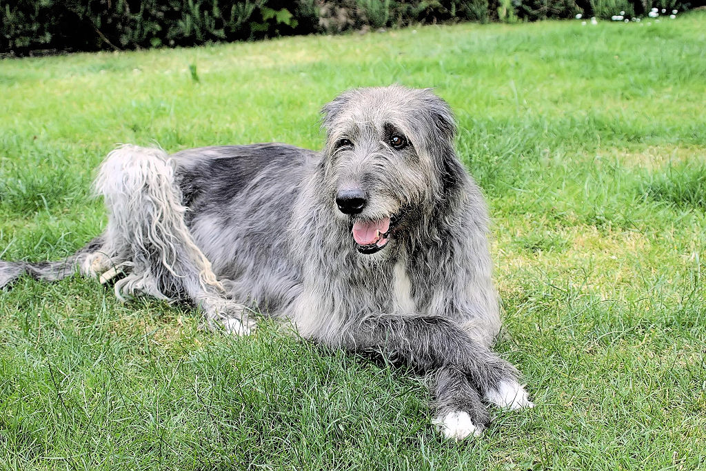Dogs Like Irish Wolfhound