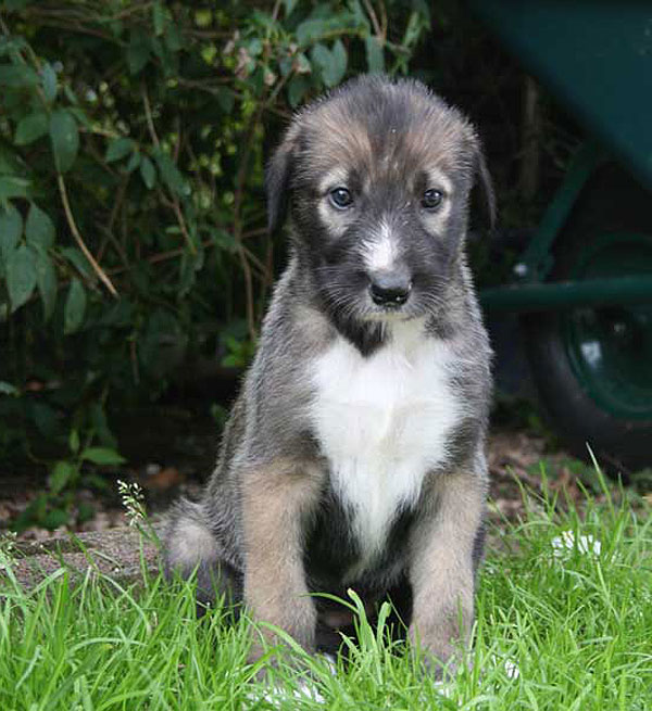 Wolfhound Mix Puppies - Goldenacresdogs.com
