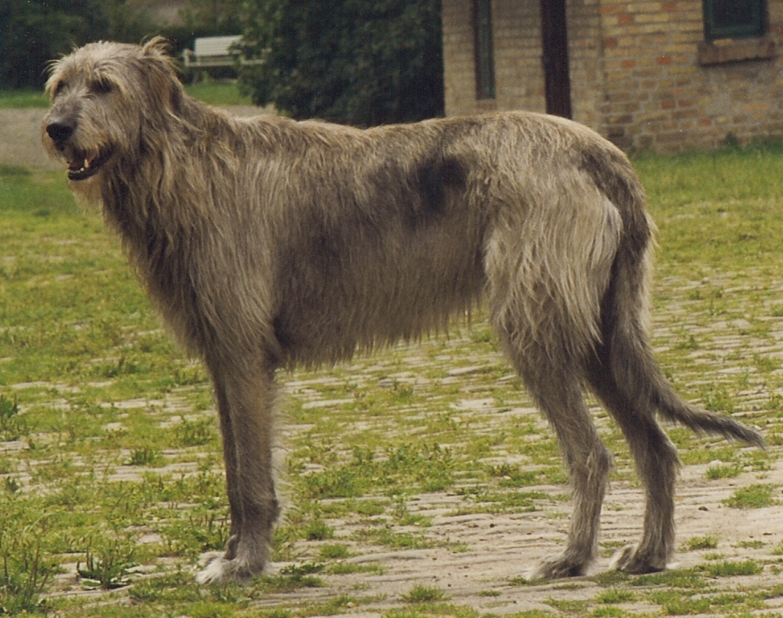 photos of irish wolfhound irish wolfhound info temperament puppies pictures lifespan 2751