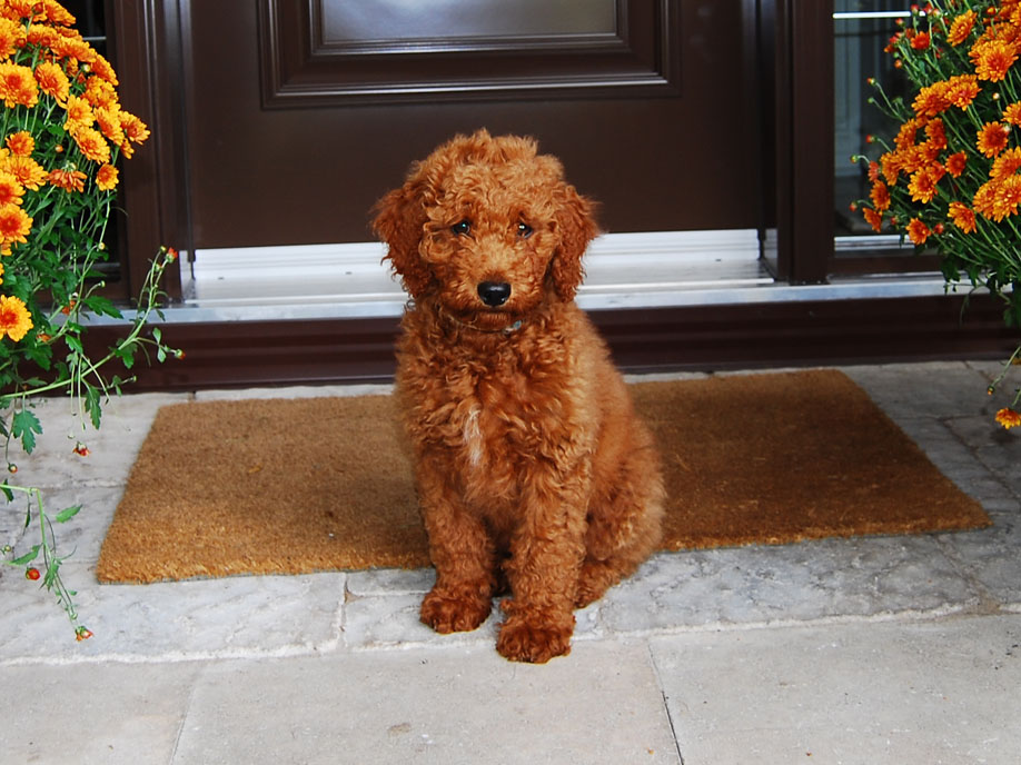F1b Mini Goldendoodle Full Grown - Goldenacresdogs.com