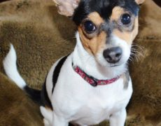 rat terrier dogs 101 rat terrier info temperament care puppies pictures 4940