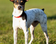 rat terrier dogs 101 rat terrier info temperament care puppies pictures 5664