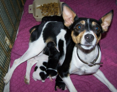 rat terrier dogs 101 rat terrier info temperament care puppies pictures 3334